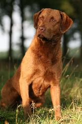 Chesapeak bay retriever